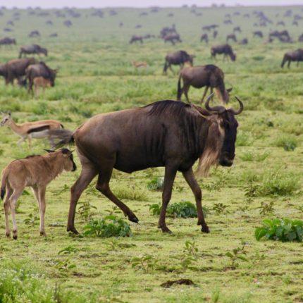 safaris en africa, Safari Alumbramientos en el Serengeti