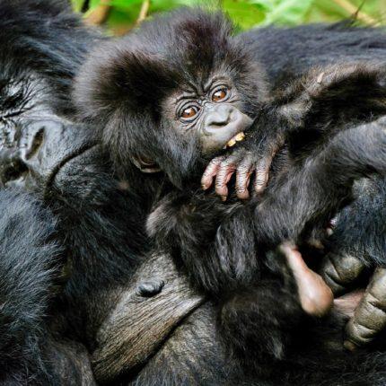Safaris en Rwanda, RASTREANDO GORILAS EN RUANDA