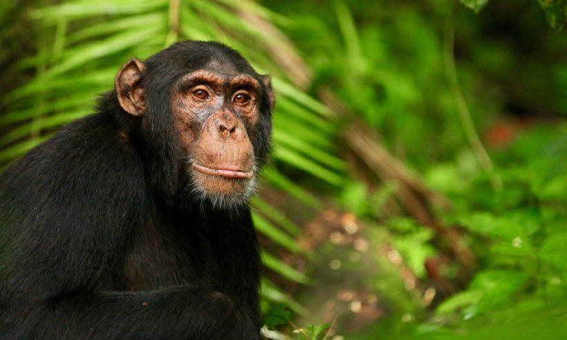 safaris en africa, Safari Chimpancés y Grandes Felinos