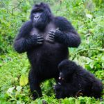 Ruanda: gorilas y volcanes