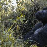 safaris en africa Observar los gorilas del Parque Nacional Los Volcanes: una experiencia insuperable.