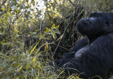 Observar los gorilas del Parque Nacional Los Volcanes: una experiencia insuperable.