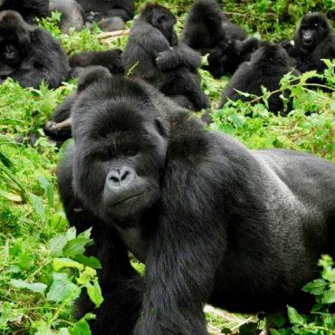 Grandes Primates